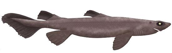 Фото: Род акул Proscymnodon - Вельветовые колючие акулы