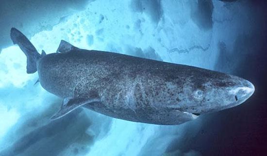 Фото: Род акул Somniosus - Полярные акулы
