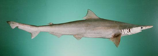 Фото: Род акул Scoliodon - Желтые остроносые акулы