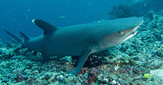 Фото: Род акул Triaenodon - Рифовые акулы
