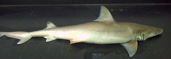 Фото: Род акул Chaenogaleus - Крючкозубые большеглазые акулы