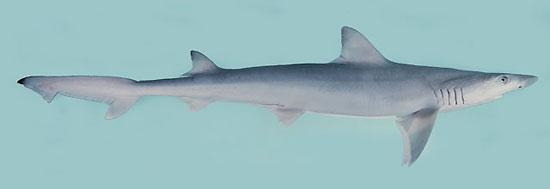 Фото: Род акул Paragaleus - Полосатые акулы