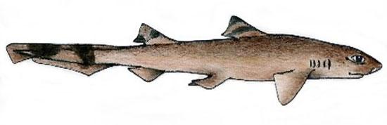 Фото: Род акул Eridacnis - Ленточные акулы