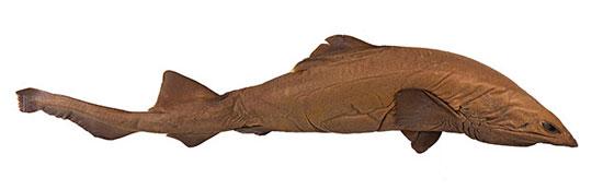 Фото: Род акул Planonasus - Ложнокошачьи акулы