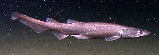 Фото: Род акул Aulohalaelurus - Губастые кошачьи акулы