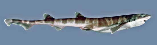 Фото: Род акул Figaro - Пилохвосты