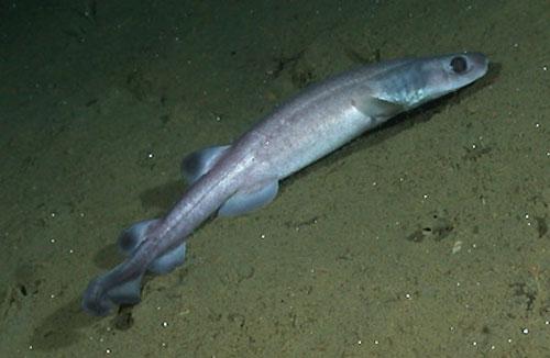 Фото: Род акул Holohalaelurus - Африканские пятнистые акулы