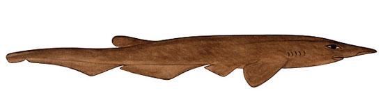 Фото: Род акул Pentanchus - Одноплавниковые кошачьи акулы