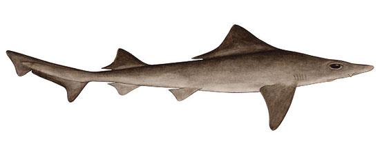 Фото: Род акул Gogolia - Гоголии