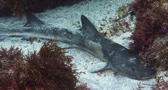 Фото: Род акул Hemitriakis - Суповые акулы