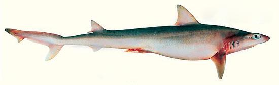 Фото: Род акул Hypogaleus - Зубчатохвостые акулы