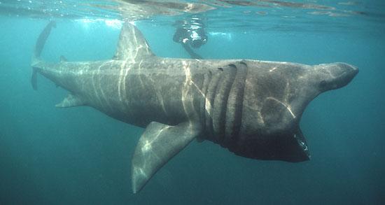 Фото: Род акул Cetorhinus - Гигантская акула