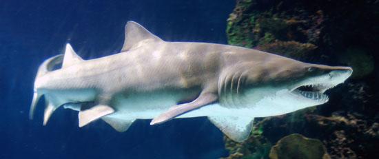 Фото: Род акул Carcharias - Тигровые песчаные акулы