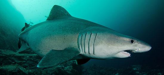 Фото: Род акул Odontaspis - Песчаные акулы