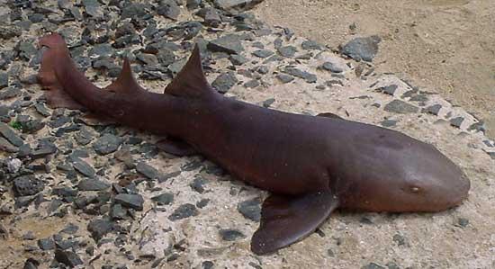 Фото: Род акул Pseudoginglymostoma - Акулы-няньки