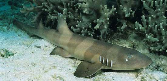 Фото: Род акул Chiloscyllium - Азиатские кошачьи акулы, или акулы-кошки