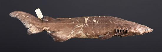 Фото: Род акул Echinorhinus - Бляшкошипые акулы