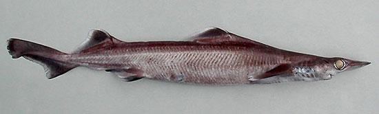 Фото: Род акул Deania - Деании, или длиннорылые колючие акулы