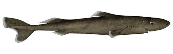 Фото: Род акул Heteroscymnoides - Карликовые колючие акулы
