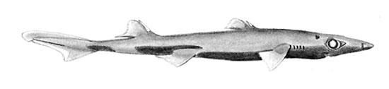 Фото: Род акул Miroscyllium - чудесные акулы