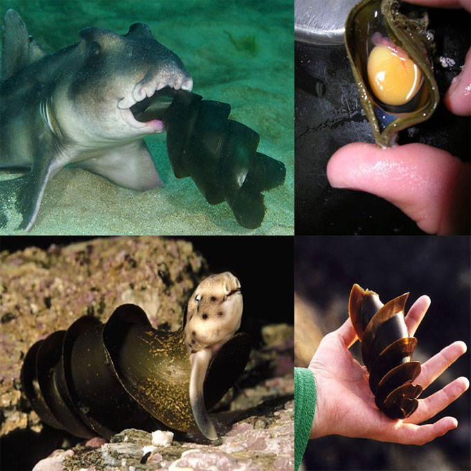 Яйцо рогатой бычьей акулы