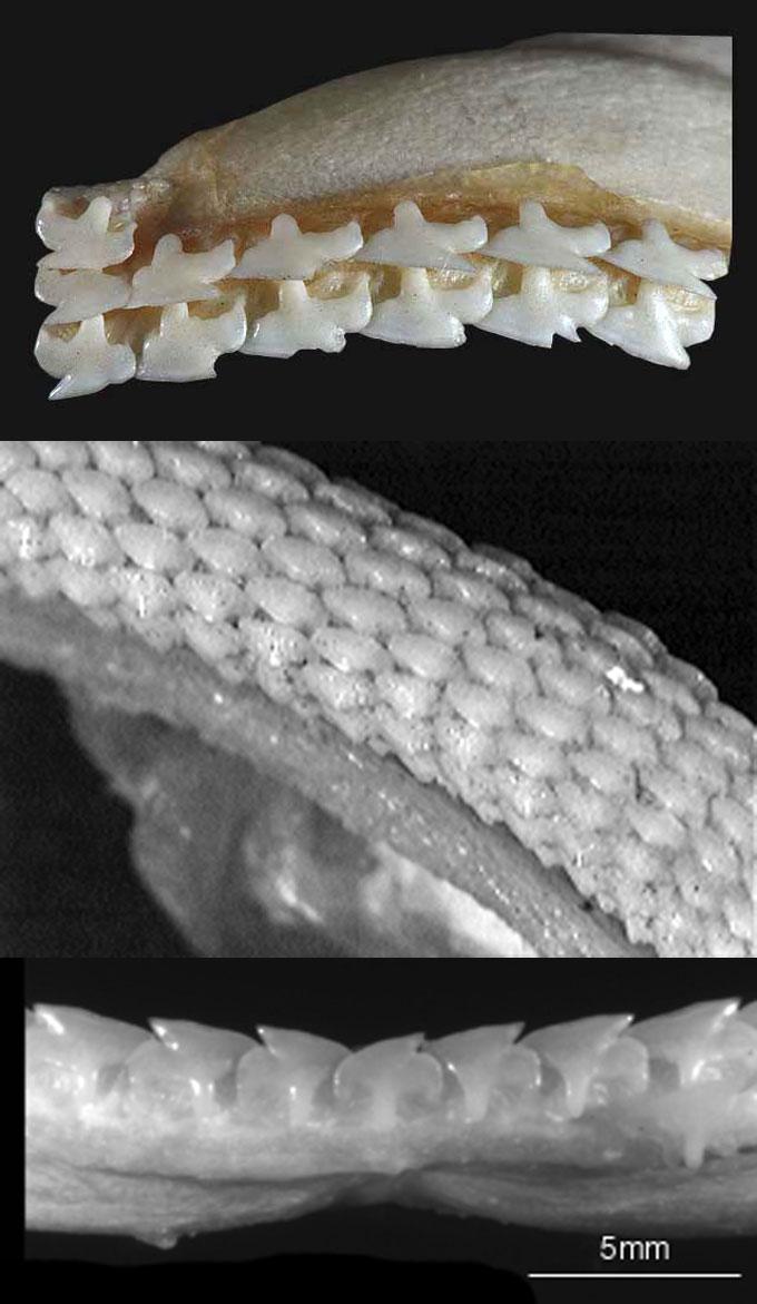 Зубы акулы катран