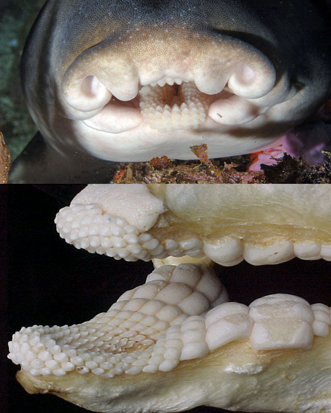 Зубы и челюсть рогатой акулы
