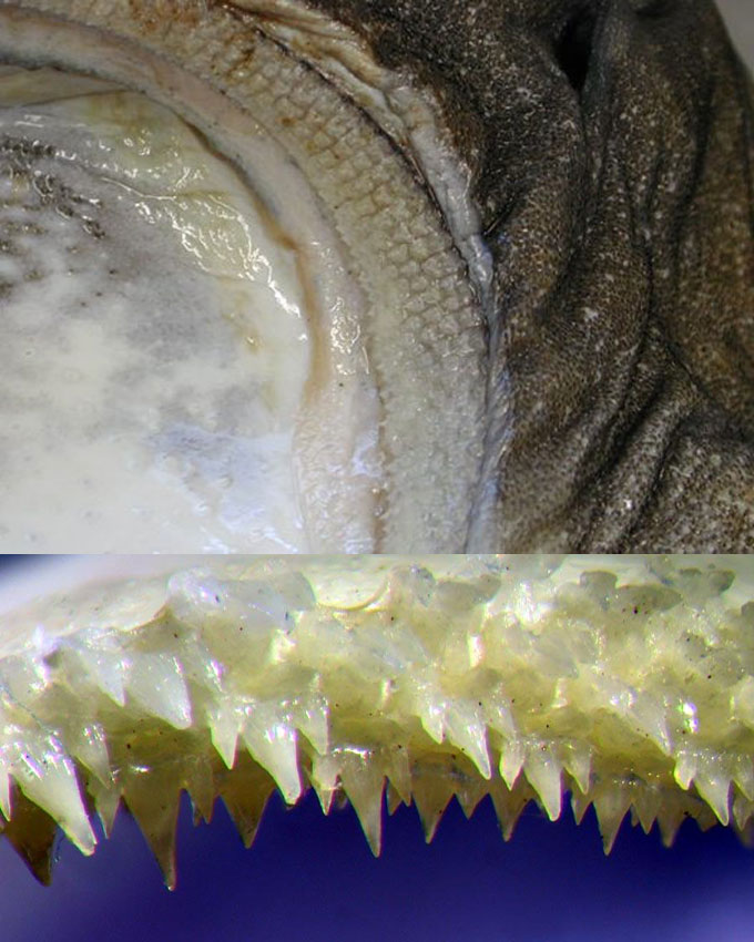 Зубы кошачьей акулы