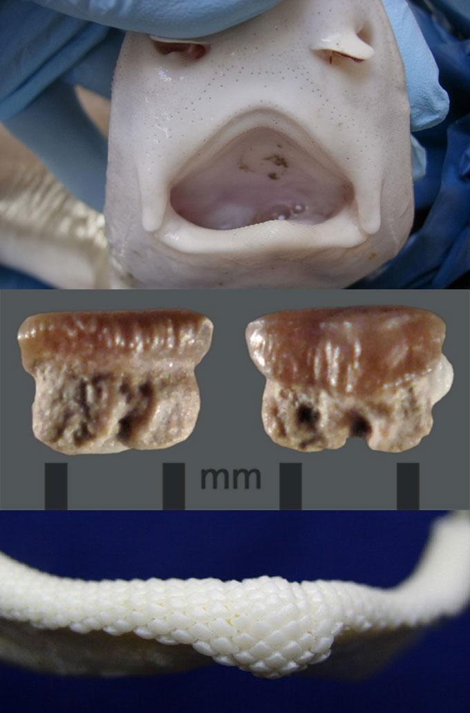 Зубы обыкновенной куньей акулы