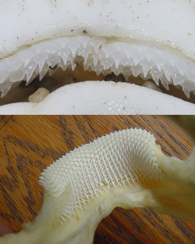 Зубы леопардовой акулы