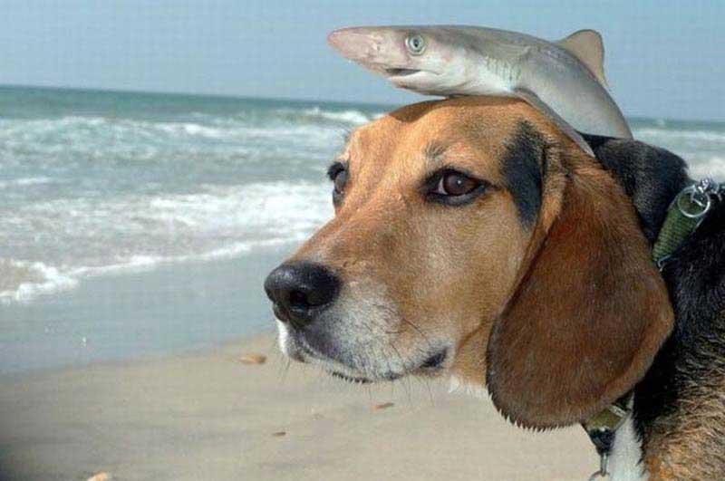 Акула наездница на собаке