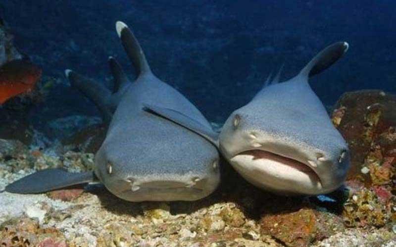 Две акулы брателло