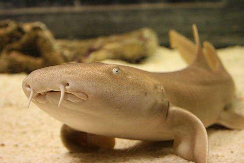 Бодрая акула-нянька