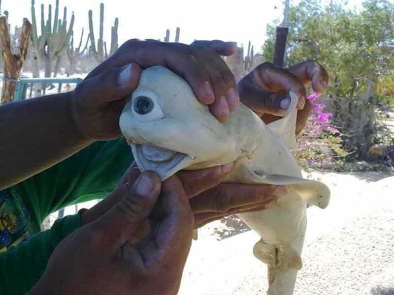 Акула циклоп