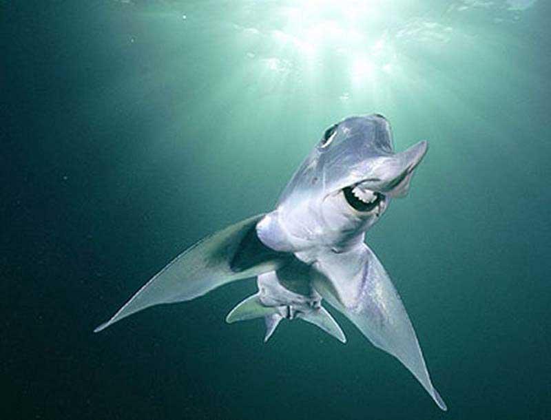 Акула призрак смеется