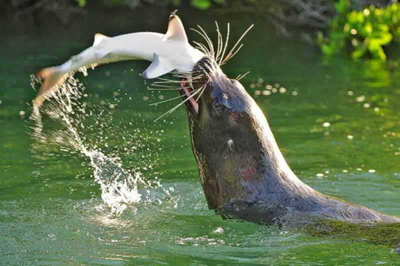Котик атакует акулу
