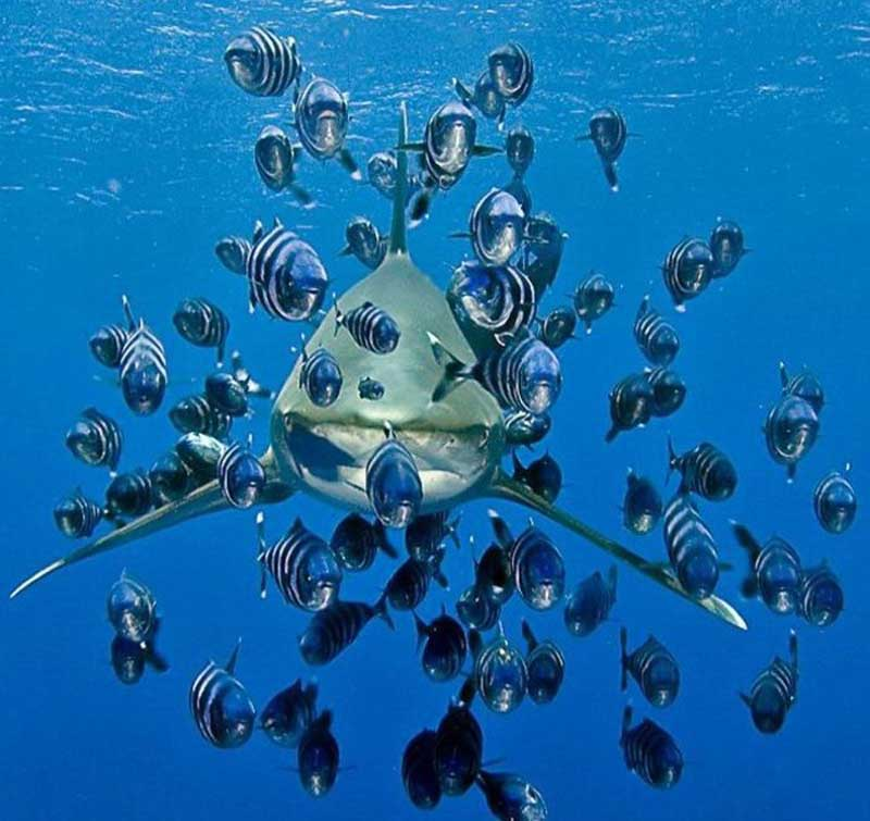 Сателлиты оккупировали акулу