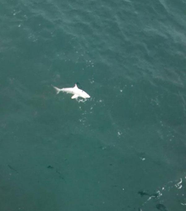 Дрон сфотографировал белую акулу-альбиноса