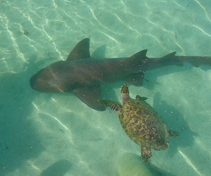 Фото: Акула и черепаха - дружба животных