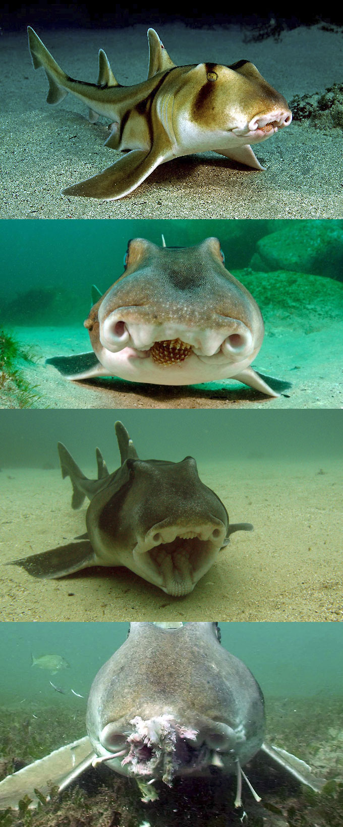 Фото: австралийская бычья акула