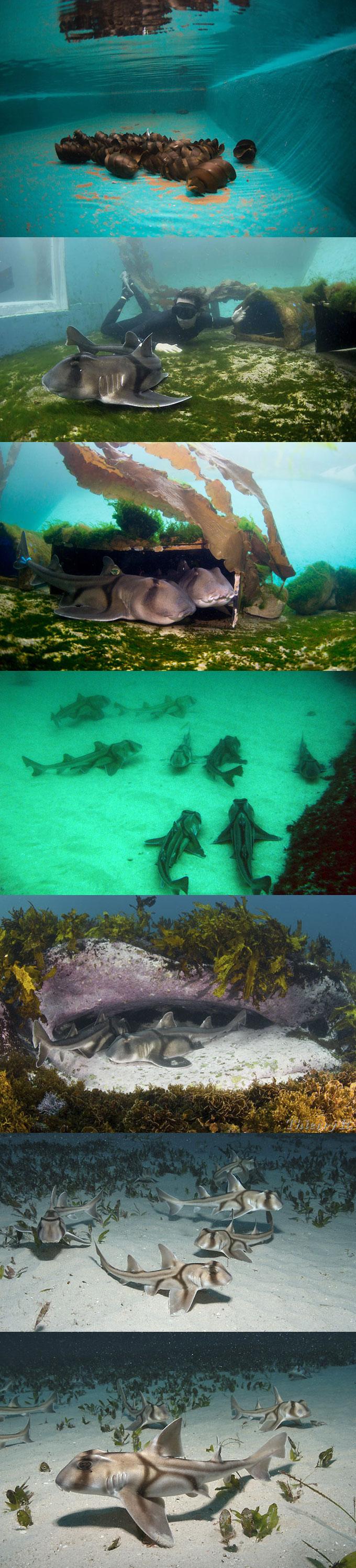 Фото: создание акульих ферм Port Jackson в Австралии