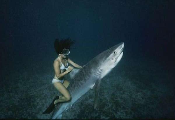 Фото: Приручение и дрессировка тигровой акулы
