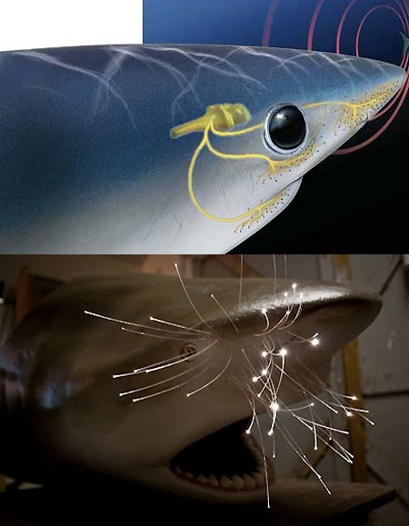 Фото: мозг и нервные импульсы акулы