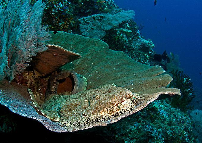 Фото: Воббегонговая акула - wobbegong shark
