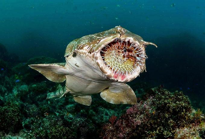 Фото: Охота и питание ковровой акулы