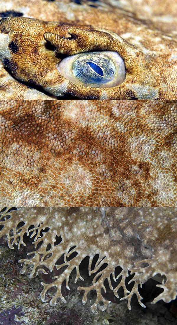 Фото: Зрение и плакоидная чешуя донной ковровой акулы