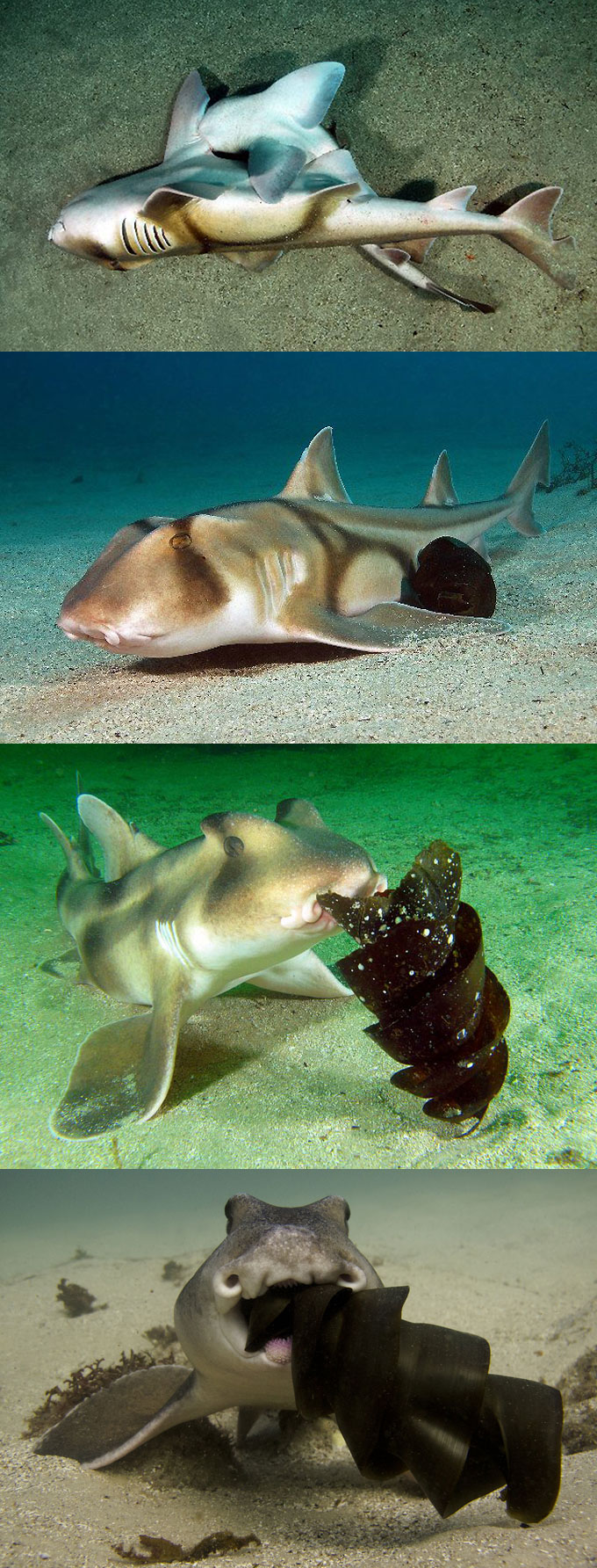 Фото: размножение австралийских рогатых акул