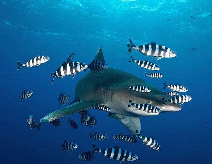 Фото: Рыба-лоцман и акула