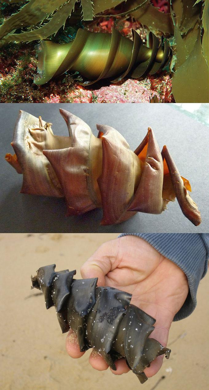 Фото: яйцо австралийской бычьей акулы