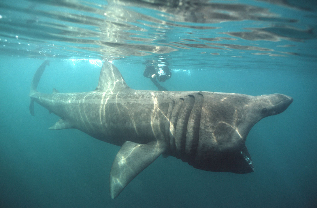 Картинки акулы гиганты